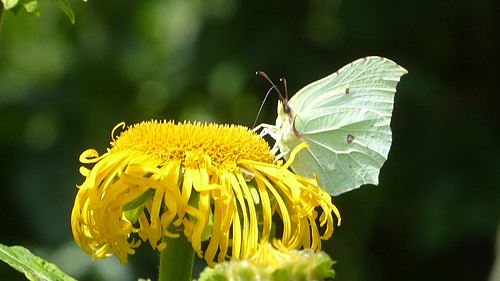 July - Brimstone butterfly