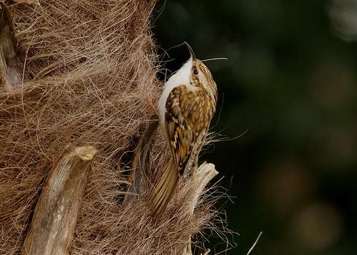 August - tree creeper