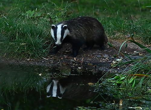 August - badger