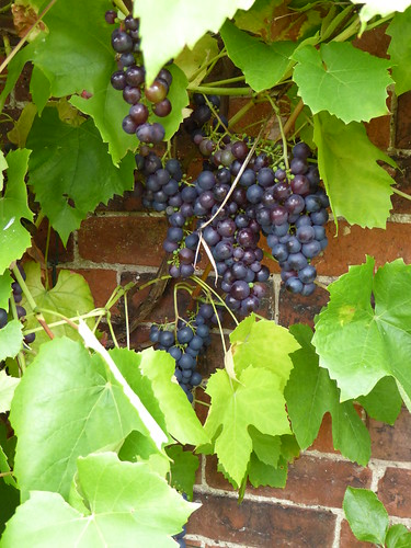 September  - grapes