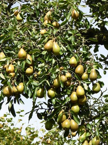 August -  pears
