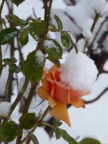 December rose garden