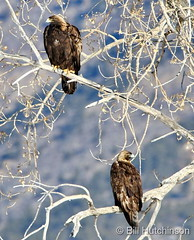 February 21, 2020 - Beautiful pair of golden eagles. (Bill Hutchinson)