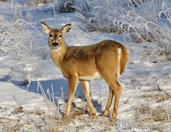 February 20, 2020 - Very pretty white-tailed deer doe. (Bill Hutchinson)