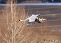 Febuary 24, 2020 - A great blue heron in flight. (Bill Hutchinson)