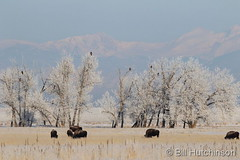 February 20, 2020 - Bison and bald eagles. (Bill Hutchinson)