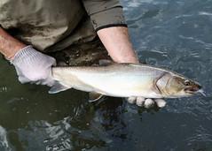 Anglų lietuvių žodynas. Žodis bull-trout reiškia n zool. šlakys lietuviškai.