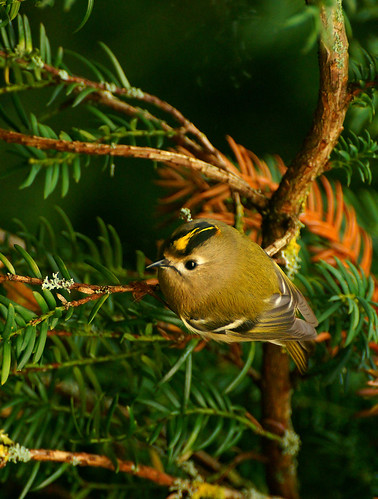 August - goldcrest