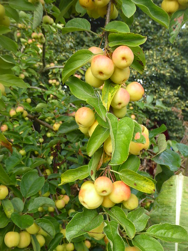 September - crab apples