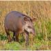 Tapir (Tapiridae) in de Pantanal in Brazilië ...