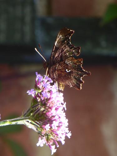 July - Comma butterfly