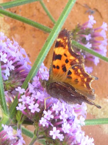 July fritillery butterfly