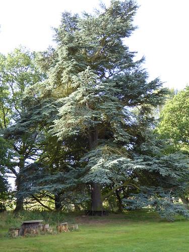 September - blue cedar