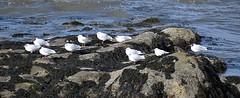 Photo of Black Headed Gulls