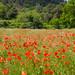 Poppies field - Papaver rhoeas