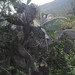 01190 Opuntia ficus-indica, TUNA DE CASTILLA