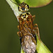 Web-spinning Sawfly, Straight Fork, Virginia