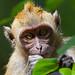 Long-tailed macaque - Penang National Park - Teluk Bahang, Penang Island, Malaysia - Feb 2020