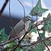 Bridled White-eye (National Aviary)