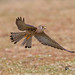 A Lesser Kestrel in Flight