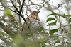 Turdus philomelos (Song Thrush) - Turdidae - Nene Park, Peterborough, UK-3