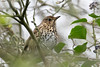 Turdus philomelos (Song Thrush) - Turdidae - Nene Park, Peterborough, UK-2