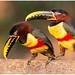 Chestnut-eared aracari - Bruinoorarassari (Pteroglossus castanotis) ...