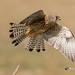 A Lesser Kestrel taking off from a perch