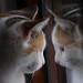 la chatte et son reflet