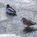 Ducks on Ice, Hartley Park, Duluth 2/26/20
