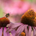 The flight of the Echinacea Bee!