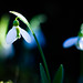 Snowdrop Magic