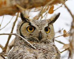 February 25, 2020 - Great horned owl closeup. (Bill Hutchinson)