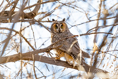 February 28, 2020 - A long eared owl pays attention. (Tony's Takes)