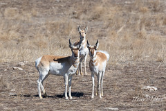 February 28, 2020 - Pronghorn keeping watch. (Tony's Takes)