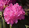 Rhododendron #1