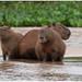 Capibaras - waterzwijnen - Capybaras (Hydrochoerus hydrochaeris) in de Pantanal in Brazilië ...
