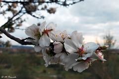 014135 - Flor del almendro