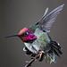Anna's Hummingbird   Seattle