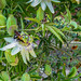 Bumble Bee In Passion Vine 03