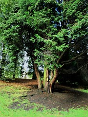 Photo of English Yew