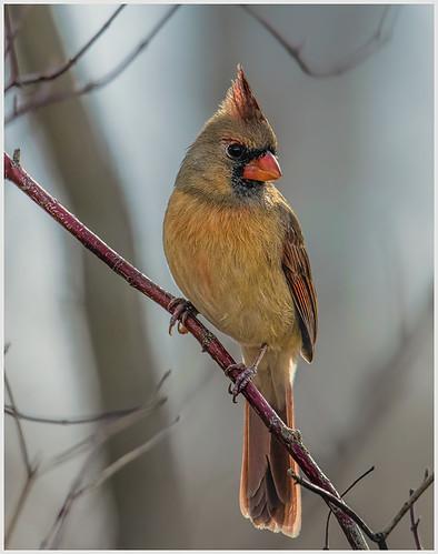 Female Cardinal Looking Pretty by Marcia Nye - Class A Digital HM - Jan 2020