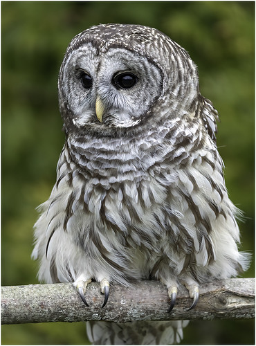 Barred Owl by Steve Ornberg - Class A Digital HM - Jan 2020