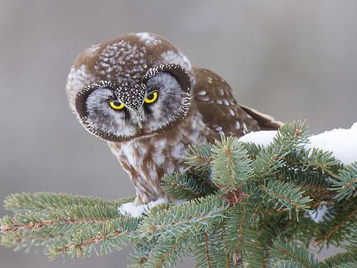 Hunting Boreal Owl by Ramu Bijanki - A Class B print Jan 2020