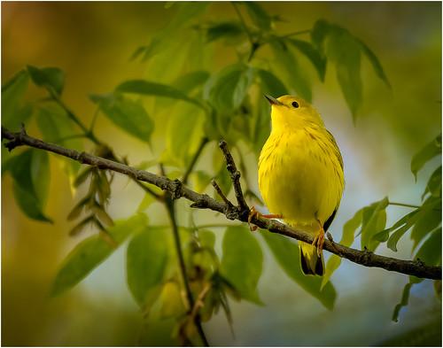 Yellow Warbler by Steve Ornberg - Award Class A Print -Jan 2020.jpg