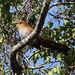 Squirrel Cuckoo_Piaya cayana_Ascanio_Siete Mares_DZ3A9636