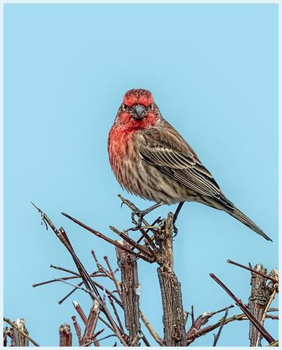 House Finch on Twigs by Marcia Nye - Class A Digital HM - Jan 2020