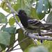 Black-backed Antshrike_Thamnophilus melanonotus_Ascanio_Siete MAres_DZ3A9571