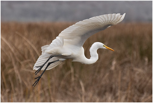 Incoming Great Egret Christine Dewey - Class B Digital Award - Jan 2020