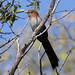 Squirrel Cuckoo_Piaya cayana_Ascanio_Siete Mares_DZ3A9645